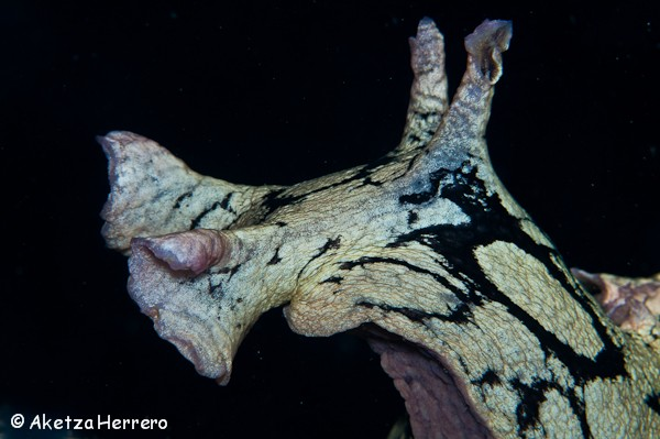 Aplysia dactylomela @ Islas Canarias by Aketza Herrero