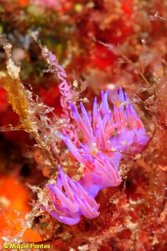 Flabellina affinis sobre Eudendrium per Miquel Pontes